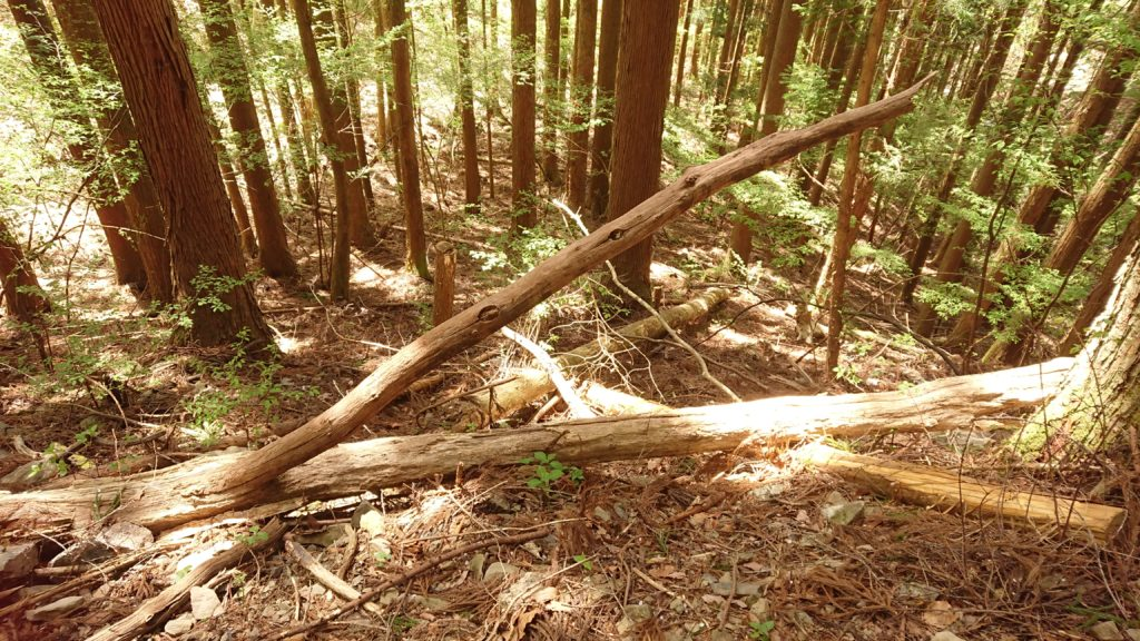 #杉の風倒木